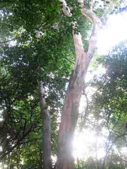 Fût de bois d'Inde