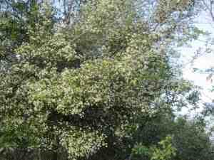 Merisier en fleur - Ph. H. Rossignol