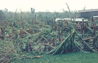 1988 : Gilbert ravage la bananeraie - Ph. R. Joyeux