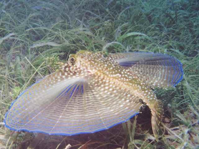 poule de mer ret