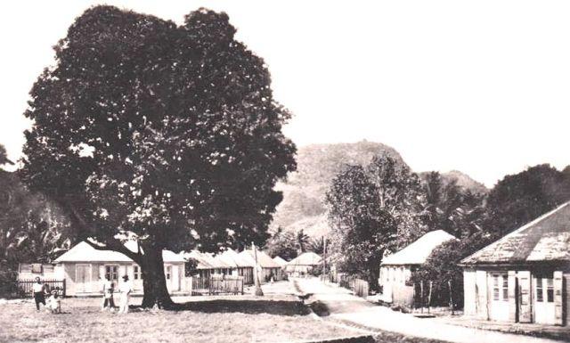 Poirier centenaire Place de la mairie à Terre-de-Haut - 1960