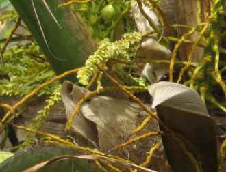 Fleurs de cocotier
