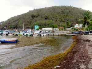 Port de l'Anse des Mûriers envahi de sargasses