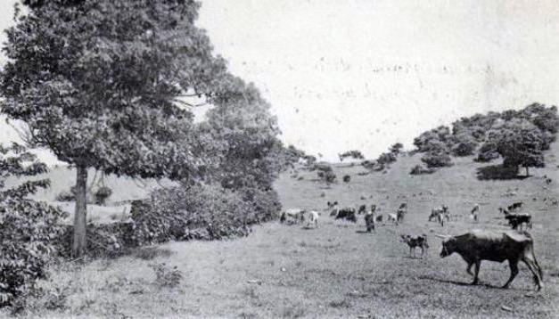 Élevage de bovins à Terre-de-Haut à l'époque de l'article
